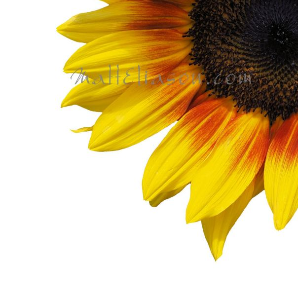 The beauty of sunflower