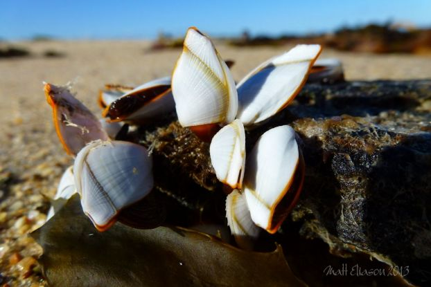 wall art photo of Goose or stalked barnacles (Lepas anatifera) on driftwood