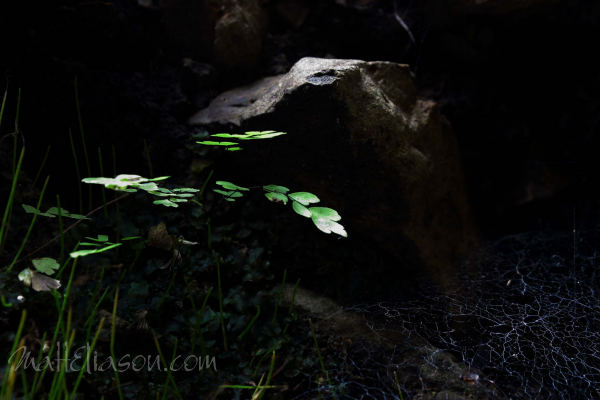 photo for sale - maidenhair fern