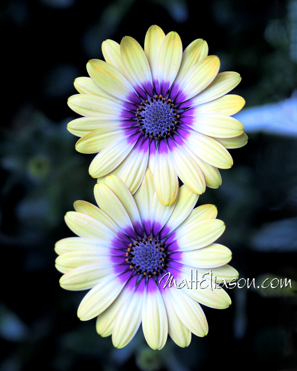 Fine art photo of two daisy flowers for sale