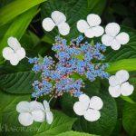 White flowers around blue