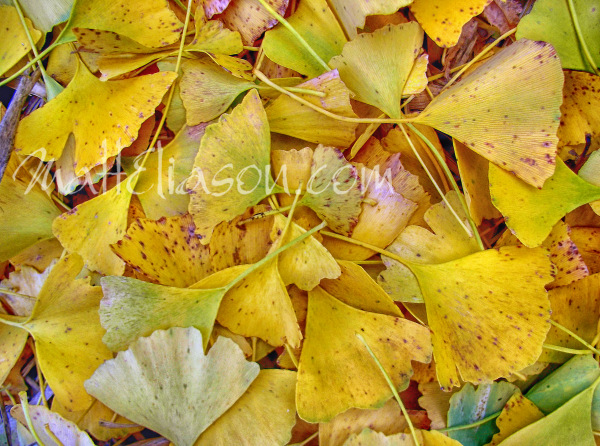 golden leaves - photo for sale instant download