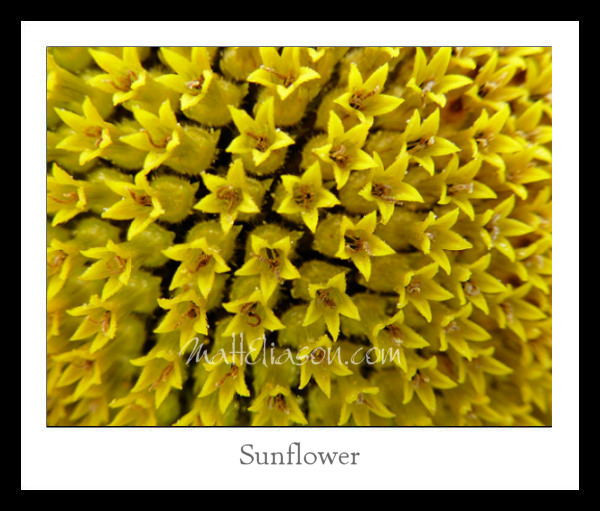 sunflower framed mockup