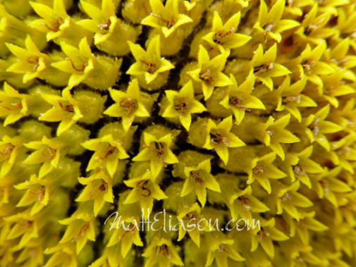 photo of sunflower up close