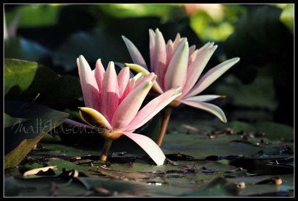 Water lily photo for sale